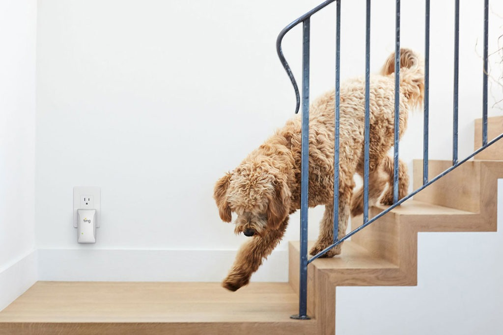A fluffy brown labradoodle walking down wooden stairs with a Ting in the background